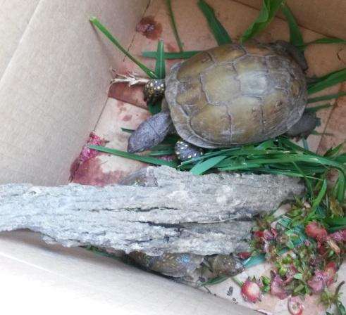 Box Turtles.jpg