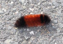2015-wooly-worms